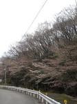 七沢温泉の桜並木