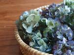 ドライ紫陽花