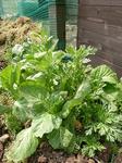 高菜と春菊